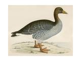 Gray Lag Goose Giclee Print by Beverley R. Morris