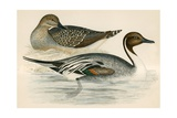 Pintail Duck Giclee Print by Beverley R. Morris