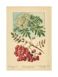 Flowers, Leaves, and Fruit of the Mountain Ash Giclee Print by William Henry James Boot