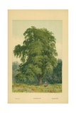 Hornbeam Giclee Print by William Henry James Boot