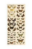 Our British Butterflies Giclee Print by  English School