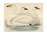Swans Giclee Print by Beverley R. Morris