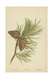 Fir Cone Giclee Print by William Henry James Boot
