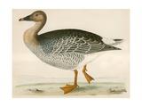 Bean Goose Giclee Print by Beverley R. Morris