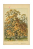 Horse-Chestnut Giclee Print by William Henry James Boot