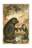 Flying Lemur, Baboon, Diana Monkey and Marmoset Giclee Print by  English School