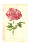 York and Lancaster Rose Giclee Print by Frederick Edward Hulme