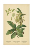 Catkins and Leaves of Holm Oak Giclee Print by William Henry James Boot