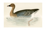 Pink Footed Goose Giclee Print by Beverley R. Morris