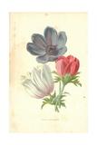 Poppy-Anemone Giclee Print by Frederick Edward Hulme
