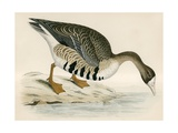 White Fronted Goose Giclee Print by Beverley R. Morris