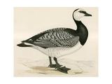 Bernicle Goose Giclee Print by Beverley R. Morris