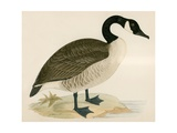 Canada Goose Giclee Print by Beverley R. Morris