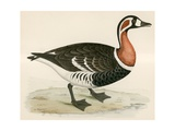 Red Breasted Goose Giclee Print by Beverley R. Morris