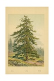 Larch Giclee Print by William Henry James Boot