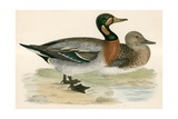 Bimaculated Duck Giclee Print by Beverley R. Morris
