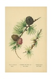 Flowers and Fruit of the Larch Giclee Print by William Henry James Boot