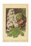 Leaves, Flowers, and Fruit of the Horse-Chestnut Giclee Print by William Henry James Boot