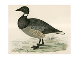 Brent Goose Giclee Print by Beverley R. Morris