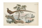 Reeves's Pheasant Giclee Print by  English School