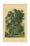 Holm Oak Giclee Print by William Henry James Boot