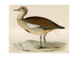 Egyptian Goose Giclee Print by Beverley R. Morris