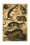 Mouse, Jerboa, Rat, Musk Rat, Dormouse and Field Mouse Giclee Print by  English School