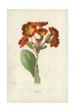 Polyanthus Giclee Print by Frederick Edward Hulme