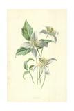Clematis Giclee Print by Frederick Edward Hulme