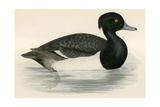 Tupted Duck Giclee Print by Beverley R. Morris