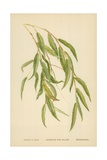 Leaves of the Willow Giclee Print by William Henry James Boot
