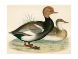 Red Crested Whistling Duck Giclee Print by Beverley R. Morris