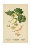 Leaves and Blossoms of the Lime Giclee Print by William Henry James Boot