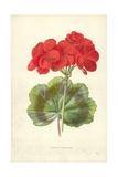 Scarlet Geranium Giclee Print by Frederick Edward Hulme