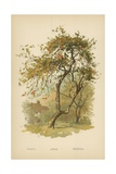 Apple Giclee Print by William Henry James Boot