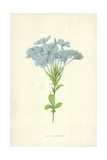 Cape Leadwort Giclee Print by Frederick Edward Hulme