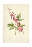 The Lyre Flower Giclee Print by Frederick Edward Hulme