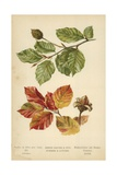 Beech Leaves and Nut. Summer and Autumn Giclee Print by William Henry James Boot