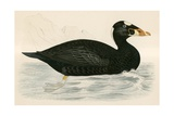 Sure Scoter Giclee Print by Beverley R. Morris