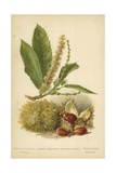 Sweet Chestnut, Blossom and Fruit Giclee Print by William Henry James Boot