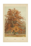 Beech Giclee Print by William Henry James Boot