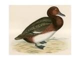 Ferruginous Duck Giclee Print by Beverley R. Morris