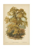Sweet Chestnut Giclee Print by William Henry James Boot