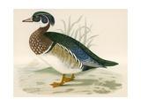Summer Duck Giclee Print by Beverley R. Morris