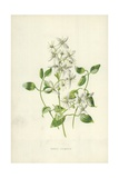Sweet Clematis Giclee Print by Frederick Edward Hulme
