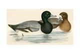 Scaup Duck Giclee Print by Beverley R. Morris