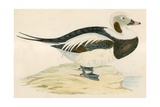 Long Tailed Duck Giclee Print by Beverley R. Morris