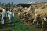 Camel Market, Birqash, 2000 Photographic Print