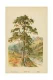 Scotch Fir Giclee Print by William Henry James Boot