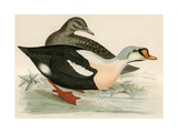 King Duck Giclee Print by Beverley R. Morris